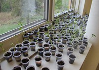 green bean plants in window sill