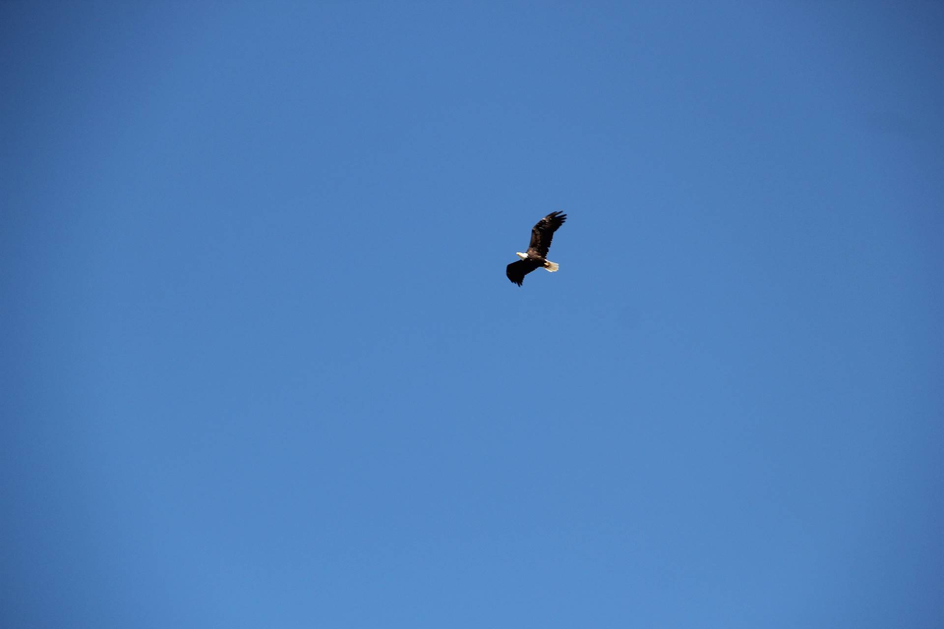 bald eagle flying in air